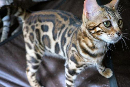 Bengal Kittens For Sale | Bengal Breeder New England